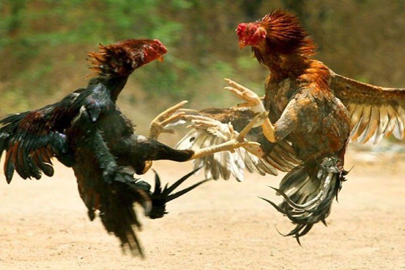 situs agen judi sabung ayam online judi live adu ayam online terbaik uang asli